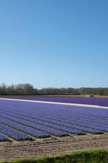 Fietsroute-Amsterdamse-Waterleidingduinen-Bollenvelden-voorjaar-Zandvoort-Holiday-Cycling-route