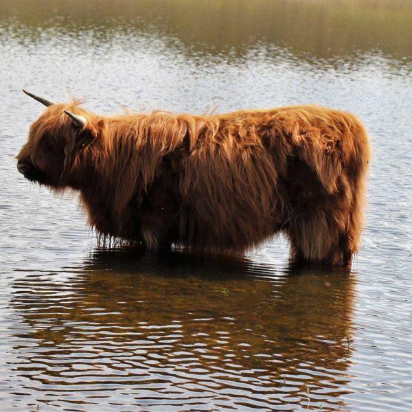 parnassia-koevlak-zandvoort-wandelroute-walking-holiday-wandern-ferien-highlander-koe