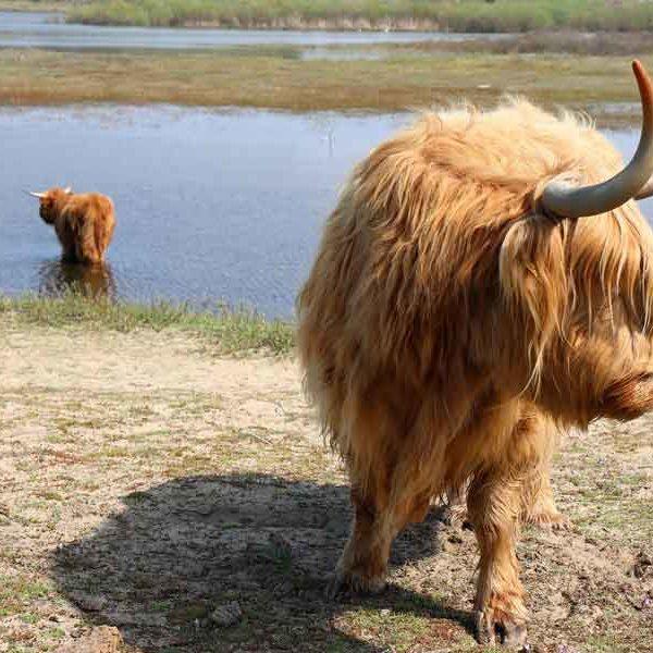 parnassia-koevlak-zandvoort-wandelroute-walking-holiday-wandern-ferien-highlander-koeien